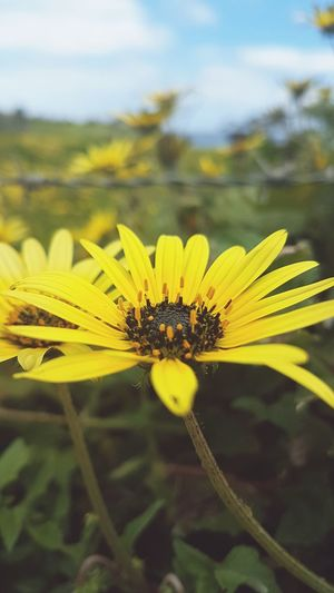 Flower Insect Plant Fragility Focus On Foreground Close-up Nature Summer Macro Uncultivated Petal Leaf Animal Wildlife Day Outdoors Flower Head Yellow No People Animals In The Wild Beauty In Nature Daisy Close Up Fields Of Gold
