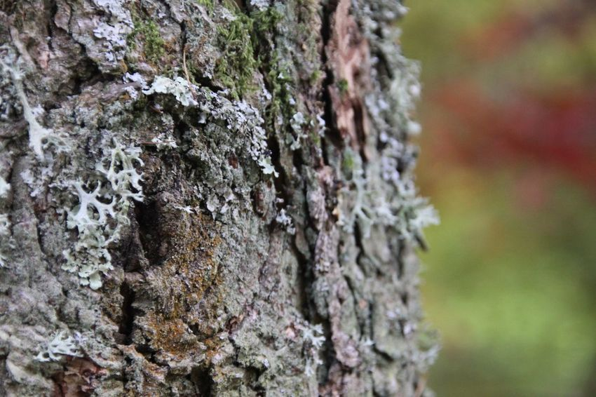 Tree Trunk Textured  Rough Focus On Foreground Tree Lichen Nature Close-up Day No People Growth Outdoors Moss Bark Fungus Beauty In Nature
