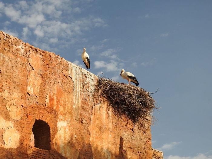 Storks of morocco