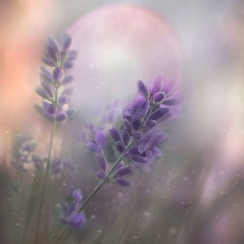 Summer :) Flower Lavender Beauty In Nature Close-up Day Edit Photo ArtWork Magic_shots Purple Multi Colored Freshness Magic_photography EyeEm Gallery Summer