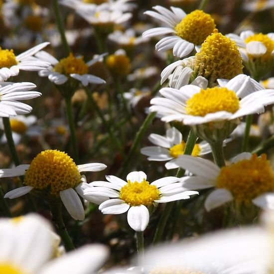 Flower Fragility Petal Freshness Growth Beauty In Nature Flower Head White Color Nature Yellow Blooming Plant Pollen No People Day Close-up Outdoors Paquerettes