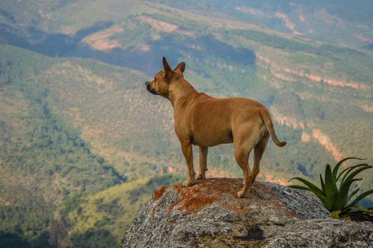 Staffy standing on the edge of a cliff in the Wolkberg Mans Best Friend Nature South Africa Standing View Dog Dog On A Ledge Dog Only Dogs In Nature Dogslife Mountains Staffie Staffy Standing On Cliff Wolkberg