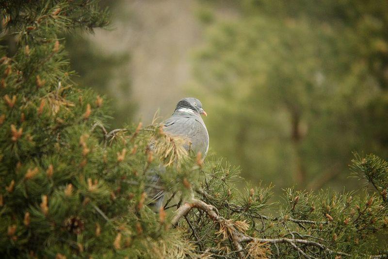 Dove in the trees Bird Dove Trees Tree Photography Farsta Sweden Godaminnen