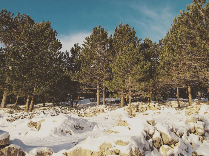 Pine tree forest on mountain with snow around Beauty In Nature Biokovo Cold Covering Croatia Day Idyllic Landscape Mountain Nature Non Urban Scene Non-urban Scene Outdoors Pine Tree Scenics Season  Snow Sunny Tree Winter