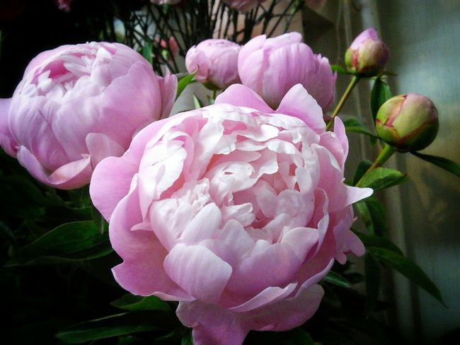 芍薬 Flower Collection Flowerporn Flowers Flower Flowers Cute♡ Kitakyushu Japan EyeEm Flower EyeEmbestshots