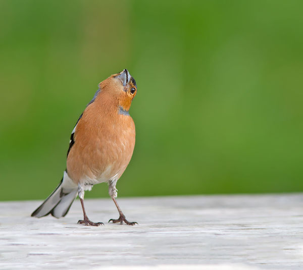 Close-Up Of Chaffinch On Table