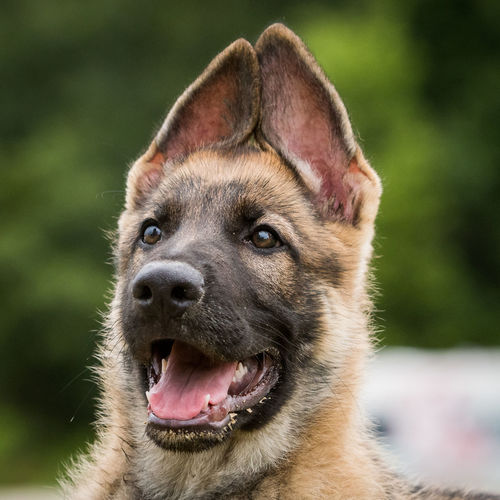 German Shepherd puppy Cute Dog Ears German Shepherd German Shepherd Dog  German Shepherd Puppy Pets Puppy