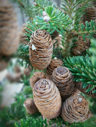 Pinecone Pine Cones Autumn🍁🍁🍁Tree Needle - Plant Part Nature Pineneedles Pine Cone Forest Nature No People Needle - Plant Part Beauty In Nature Day Macro Day Plant Autumn Close-up Beauty In Nature No People Green Color Colors Premium Collection Premium