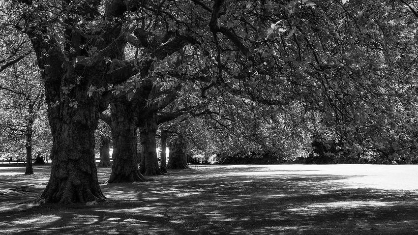 Old Trees in Black And White Tree Nature Outdoors The Way Forward Beauty In Nature Tranquility Scenics Shadow Branch No People Growth Tree Trunk Day EyeEm Best Shots - Black + White Monochrome Urban Nature