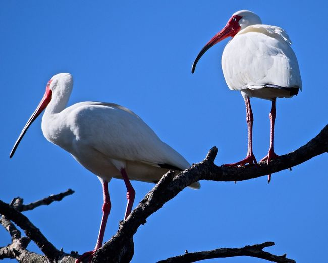 Low angle view of white ibises perching on branches