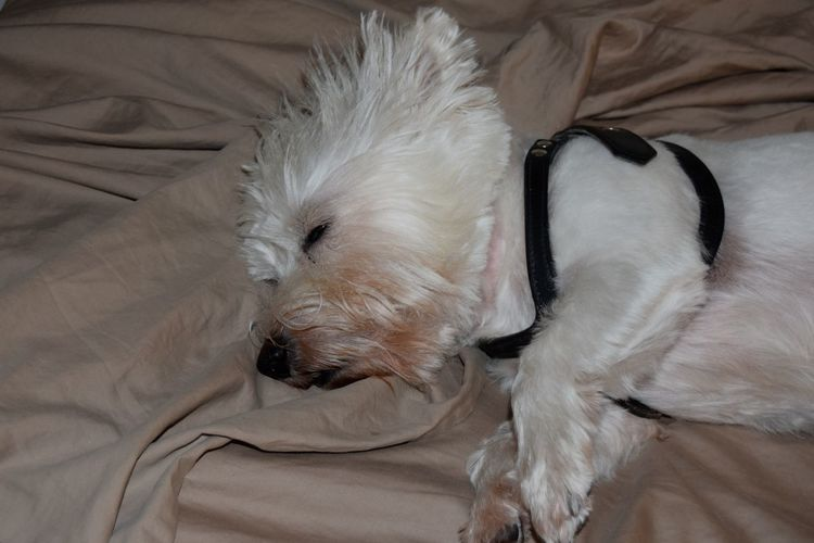 My little Westie does not want to get out of bed. #westhighlandwhiteterrier #westie #westielife Animal Themes Dog Domestic Animals Indoors  Loyalty One Animal Pampered Pets Pets Pillow Angels West Highland White Terrier Westie Pet Portraits