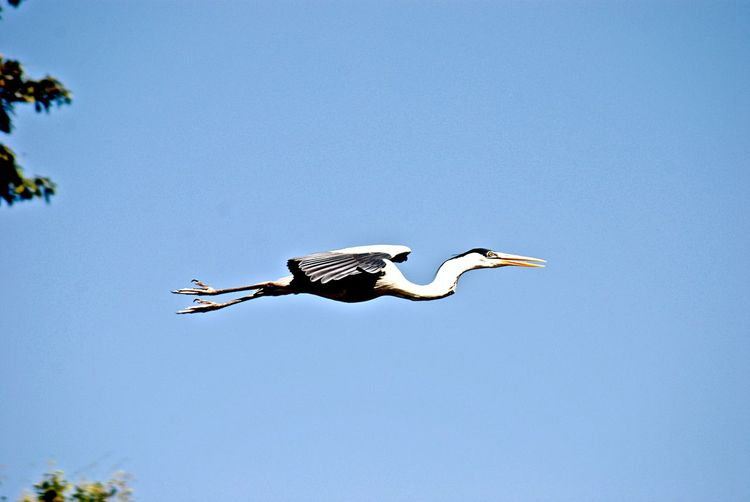 Animal Wildlife Animals In The Wild Animal Themes Animal Blue Sky One Animal Flying Bird Spread Wings Beauty In Nature