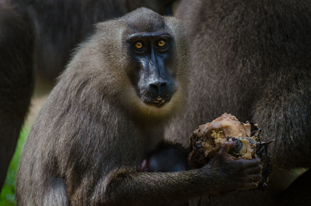 animals in the wild, animal wildlife, animal themes, mammal, monkey, no people, one animal, focus on foreground, close-up, outdoors, day, nature, baboon, food