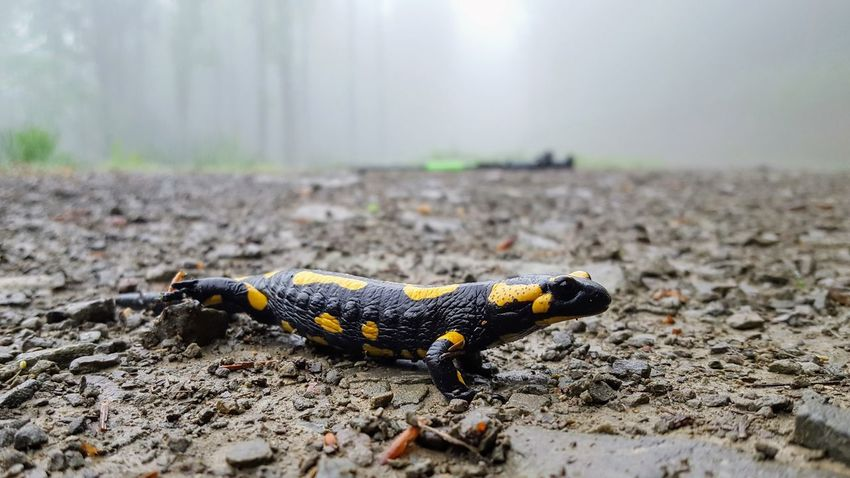 Reptile Salamander Animal Themes Animals In The Wild Black Close-up Day Fire Salamander Nature No People One Animal Outdoors Yellow