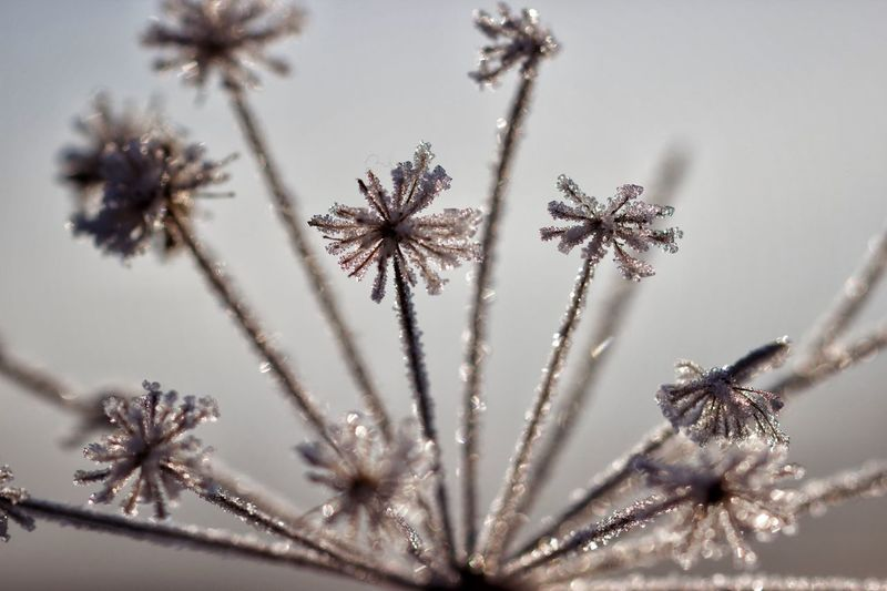 Close-up of wilted plant during winter