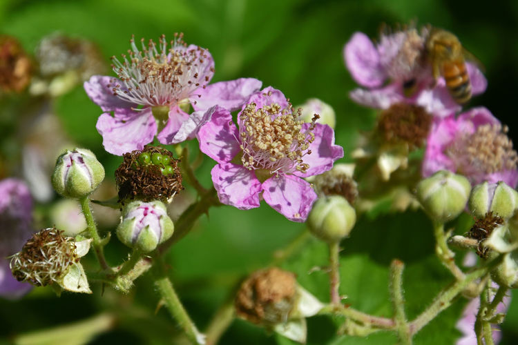 Blackberries Blackberry Flower Blackberry Flowers Berries Blossoms  Showcase June