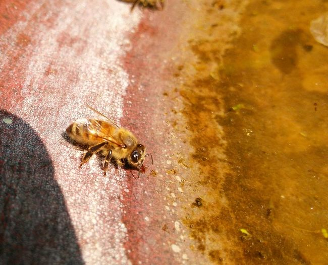 EyeEm Selects Did You Know That Bees Have Red Tongues??? No filter only a small crop edit.. Animals In The Wild Insect Animal Themes One Animal Animal Wildlife Nature No People Outdoors Bee Close-up Full Length Beauty In Nature Excellent Shot Popular Photographs Check This Out! The Week On EyeEm EyeEm Gallery Nature Beautiful Nature Animals In The Wild The EyeEm Team Drinking Water Bees Drinking Water Thirsty Bee