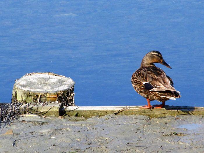 Duck Perching By Lake