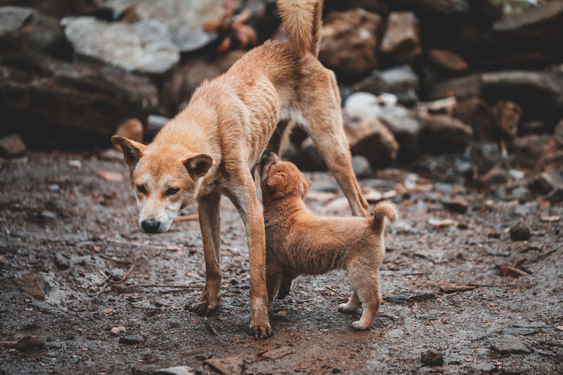 High angle view of mother dog feeding puppy