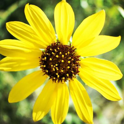 Sunflower Flower Yellow Petal Flower Head Fragility Freshness Pollen Nature Growth Beauty In Nature Day Blooming Outdoors Plant No People Close-up Gazania Animal Themes