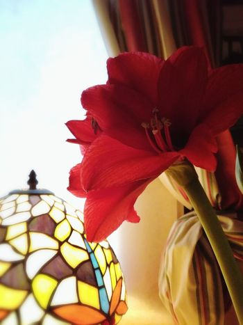 Flower Close-up Red Petal Fragility No People Flower Head Freshness Tiffany Lamp Dark And Light Poinsettia In Bloom Blooming Atmosphere