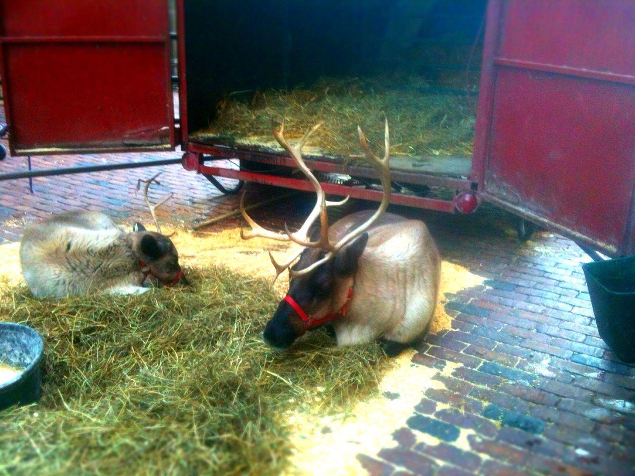 Reindeer family eating grass on street