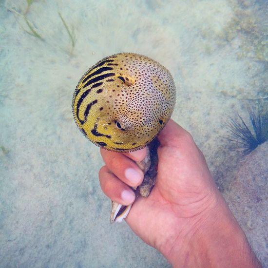 Oh beautiful creature. Have you ever tried playing this? Pufferfish Blowfish Globefish Wellfish marine fish