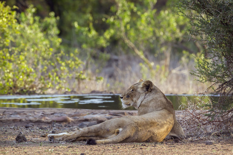 Lioness relaxing by lake