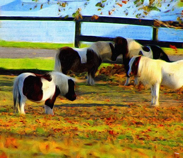 Animal Themes Miniature Horses Pasture Paint Edit Photo