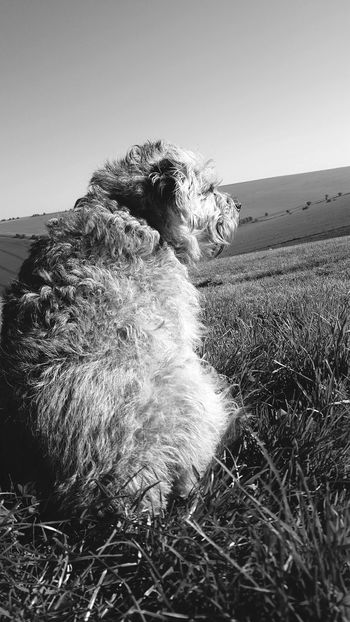 look at her think !!! I want a dog now, I've never had a pet Dog Dogs Domestic Animals Animal Animals Blackandwhite Walking Morning Morning Walk Pet Pets Pet Photography  Backlit Love Rural Scene Agriculture Sky Grass Farm Calm Pet Collar