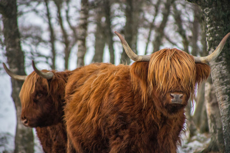 Highland Coos Hanging Out Highland Cattle Highland Cows Scotland Winter Winter Scene Animal Themes Brown Cattle Cow Highland Cattle Horned Livestock