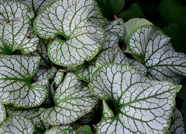 White and green coleus 2catswithcameras Coleus EyeEm Best Shots Veined Close-up Day Green Color Leaf No People Pjpink Plant