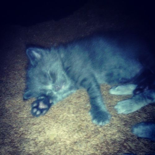This here is the oldest out of the kittens. He's the only fat one. Lol he's so cute. Chunkers Sleepyhead