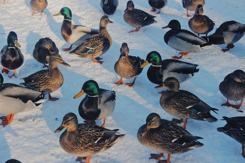 Don't worry we can hug in this cold weather!:) Duck Travel Europe Europe Trip Bird Animal Themes Animal Group Of Animals Animal Wildlife Vertebrate Animals In The Wild Large Group Of Animals Day High Angle View Nature Mallard Duck No People Cold Temperature Beauty In Nature Outdoors Winter Duck Lake Water