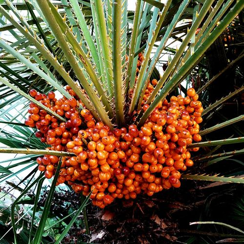 Growth Tree Date Fruit Food And Drink Day Beauty In Nature Nature Food Low Angle View No People Palm Tree Freshness Plant Outdoors Healthy Eating Flower Close-up