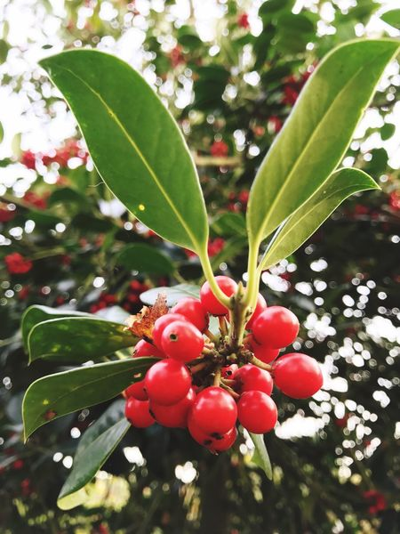 Medlar Cotoneaster Growth Fruit Red Leaf Close-up Focus On Foreground Nature Tree No People Outdoors Day
