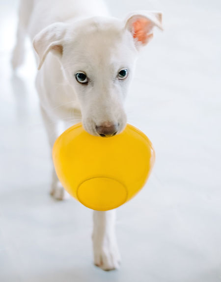 When it ask for the breakfast Animal Themes Close-up Cute Day Dog Domestic Animals Indoors  Looking At Camera Mammal No People One Animal Pets Pleading Portrait Puppy Request Tennis Ball Yellow