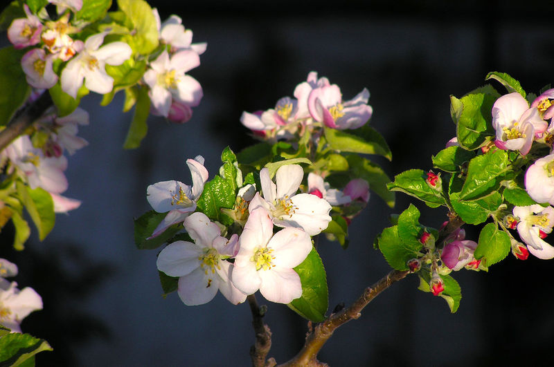 Agriculture Apple Blossom Apple Tree Beauty In Nature Bloom Blooming Blossom Close-up Day Flower Flower Head Fragility Freshness Fruit Growth Malus Malus Domestica Nature No People Outdoors Petal Plant Plantation Springtime