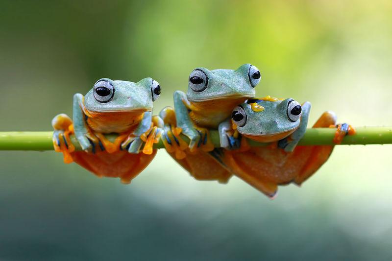 Javan tree frog on branch ( Rhacophorus reinwardtii ) Beautiful Exotic Tree Frog Wallace Amphibian Animal Animal Themes Branch Cloeup Endemic Frogs Jumping Outdoors