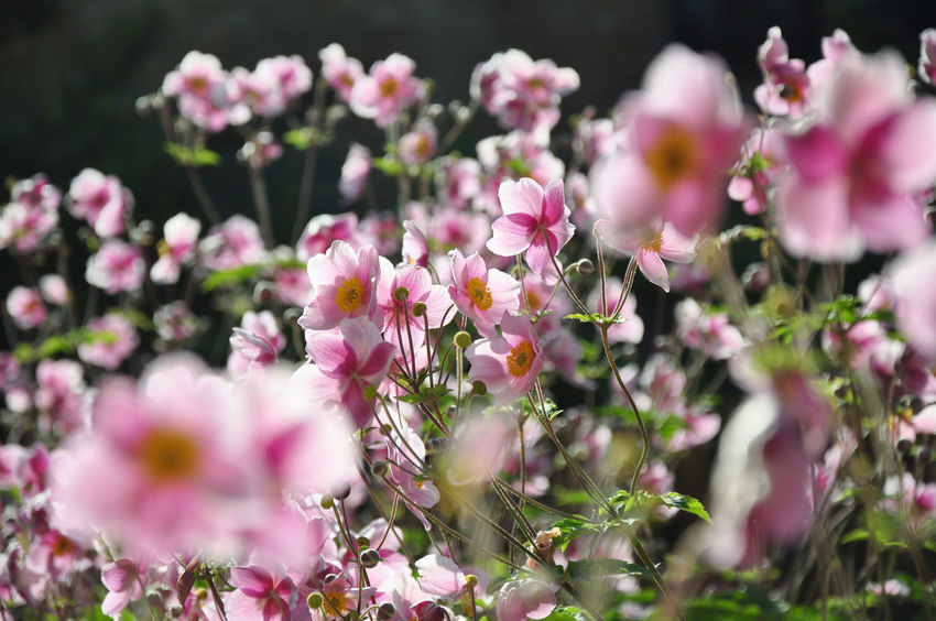 Anemone Hupehensis Anemone Japonica Garden Flowers Gardening Japanese Anemone Beauty In Nature Blooming Chinese Anemone Day Flower Flower Head Freshness Garden Nature No People Petal Pink Color Timbletweed Windflower