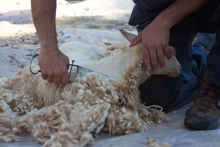 Tradition Domestic Animals Mammal Old Job  Sardinia Shearing Shearing Sheep Sheep Sheep Shearing Sheep Shears Traditional Wool Business Stories