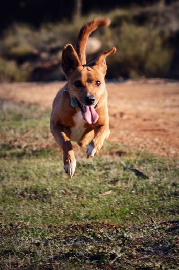 One Animal Dog Pets Animal Themes Sticking Out Tongue Mouth Open Mammal Domestic Animals Nature Happiness Day Animal Tongue Protruding Grass Outdoors Jumping No People Full Length Portrait Close-up