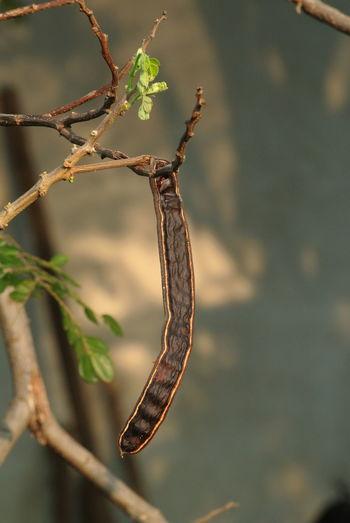 Close-up of vanilla stick on plant
