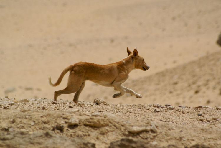 Wild dog running in desert