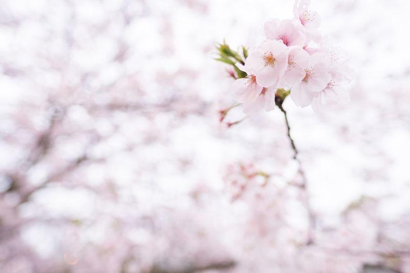 Sakura Eye Em Nature Lover Japan Cherry Blossoms Flowers EyeEm Flower Eyeem Spring Eye Em Best Shots - Nature Bokeh