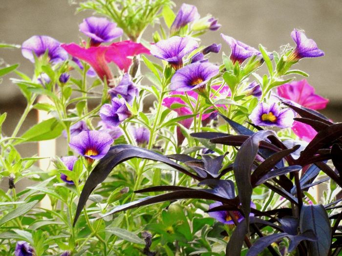 Colorful floral arrangement of annuals Purple Flower Plant Growth Nature Petal Fragility Freshness Beauty In Nature No People Outdoors Close-up Day Annuals Flowers Purple Flowers Pink Flower Dark Leafy Sweet Potato Vines Trumpet Flower Purple And Pink Flowers Garden Photography Container Gardening Flowers,Plants & Garden Flower Photography