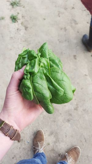 male hand holding fresh spinach harvest Spinach Crop  Harvest Fresh Freshness Acre Vegetable Male Hand Yield Human Hand Holding High Angle View Close-up Green Color Food And Drink
