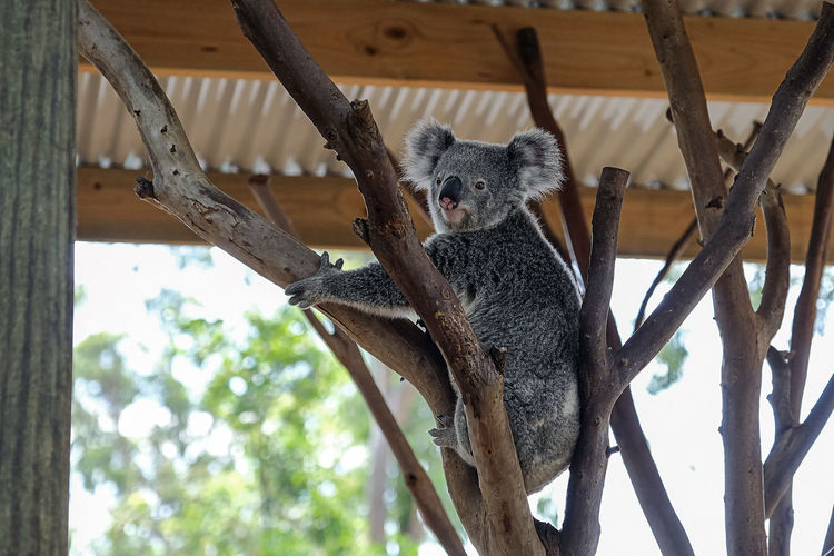 Posing Australia Native Animal Happy Koala I'm Looking At You! I'm Happy Here Look At Me Tree Branches Animal In Captivity Animal In The Zoo Animal Wildlife Climbing Close-up Full Length Happy Animal I'm Here Koala On A Tree Koala 🐨 Native Animals Posing Animal Posing For The Camera Resting Time Sitting