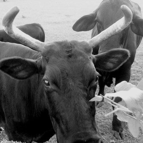 Heifer Cow Rural Scene No People Livestock Florida Farm Hello World Taking Photos Blackandwhite Monochrome Close-up Horned Bull - Animal Domestic Cattle Cattle Farm Animal