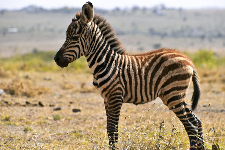 Young Zebra Standing On Field